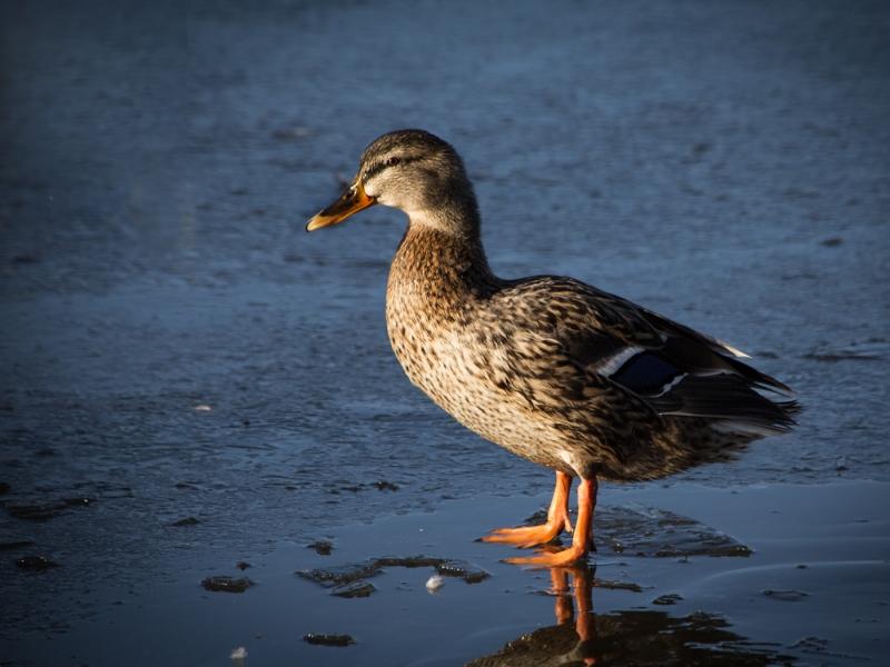 Frozen_Duck.jpg