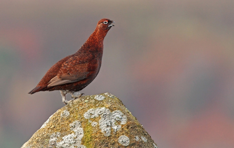 Male_red_grouse_calling.jpg
