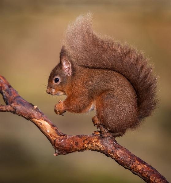 Squirrel study 1