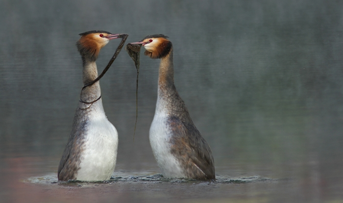 Great_Crested_Grebes_Courtship_Displaying