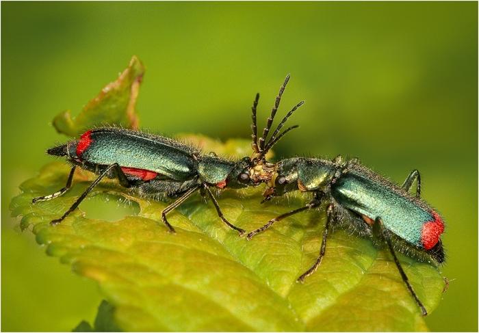 Red_Tipped_Flower_Beetles_Fighting