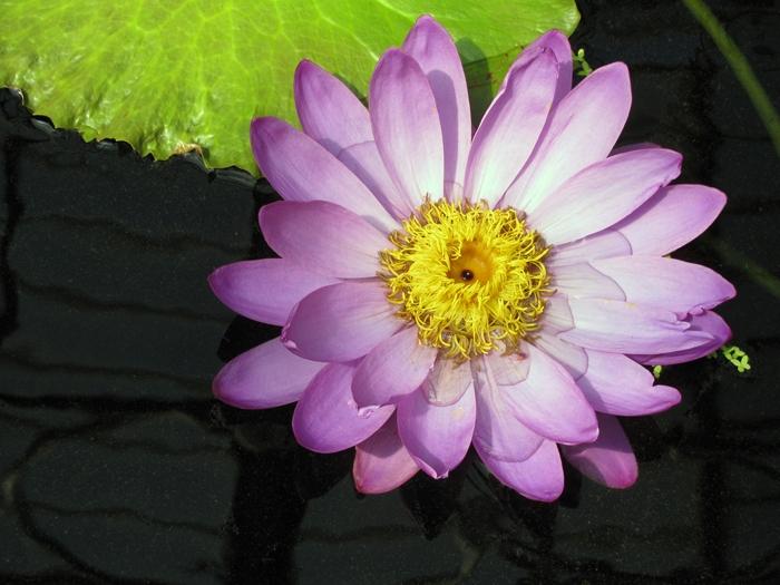 Water_Lily_at_Kew