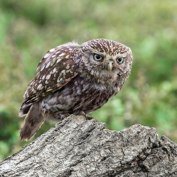 1_Jon-Allanson_Little-Owl
