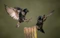 1_aamir-sabzwari_Starlings-squabble