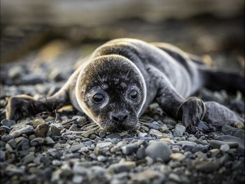 Sad-Seal-Pup