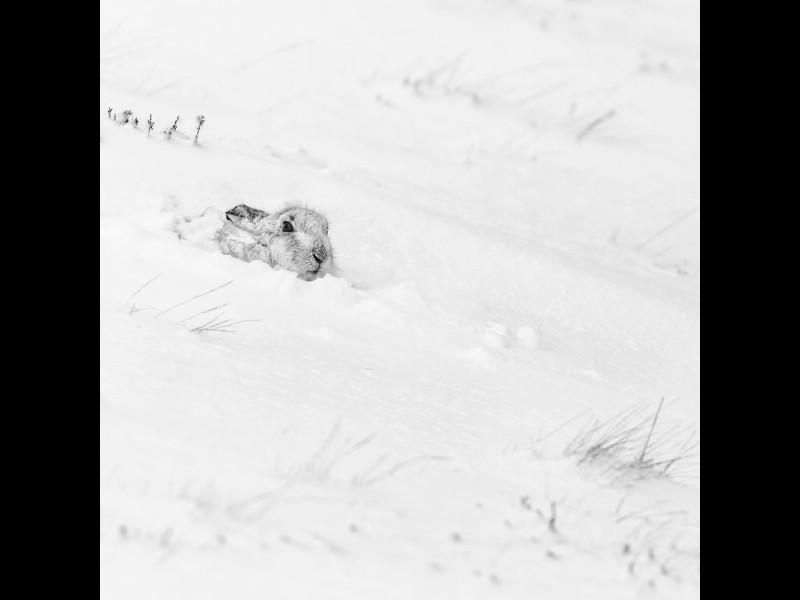 30-Mountain-Hare