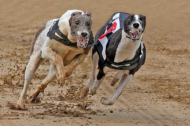 Greyhounds racing by Paul Matthews - Best advanced PDI, 1st PDI