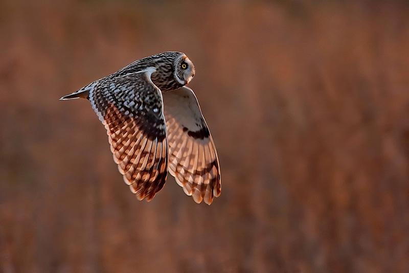 Short eared owl by Paul Matthews - Best advanced PDI, 2nd PDI Co