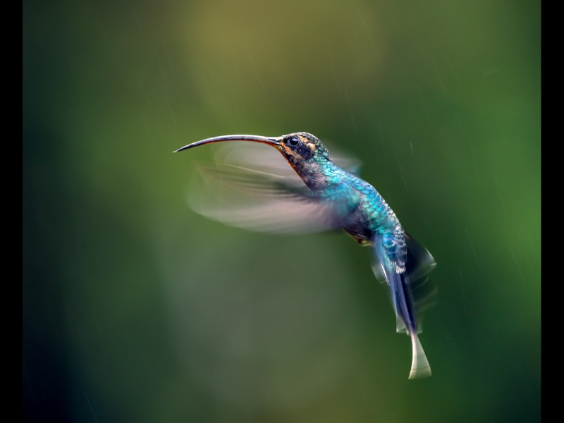 Green-Hermit-Hummingbird-in-the-Rain-