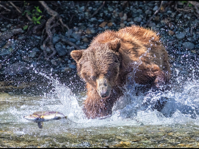 Grizzly-missing-the-salmon