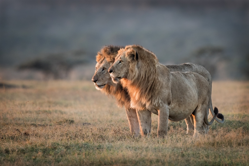 Pair-of-male-lion