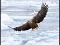 White-tailed-sea-eagle