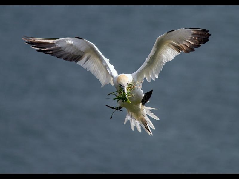 Gannet-with-grass-1