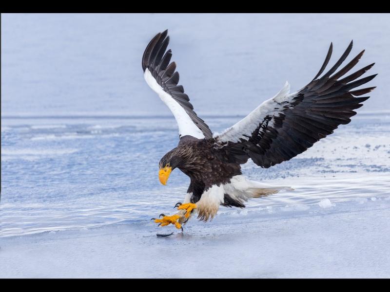 Stellers-Sea-Eagle