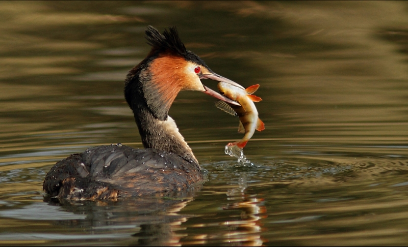Great_Crested_Grebe_with_Perch