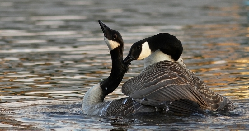 Canada_Geese_Mating