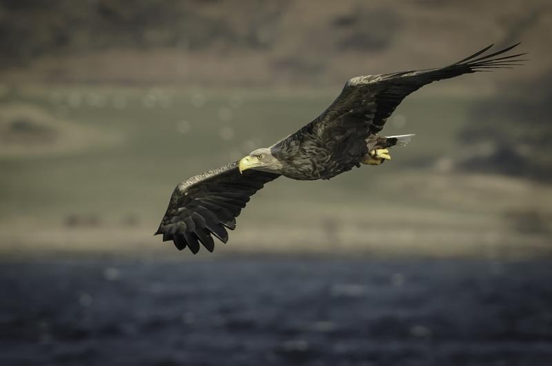 White_Tailed_Sea_Eagle