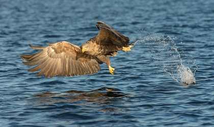 White_tailed_Sea_Eagle - June Lown–18