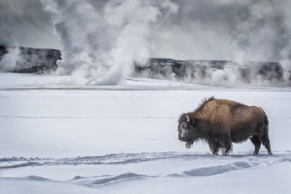 Bison_in_Yellowstone_Park