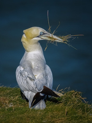 Gannet_with_nesting_material