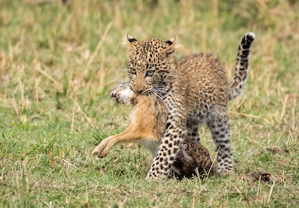 Leopard_Cub_with_Hare