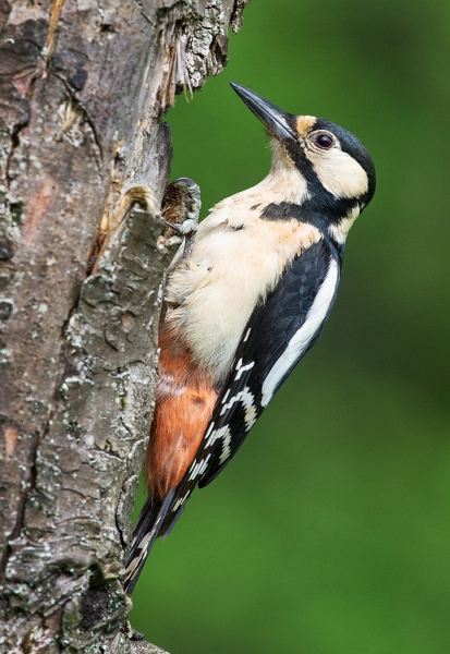 Great Spotted Woodpecker.jpg